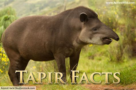 tapir facts pictures video learn   rare