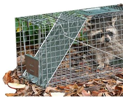 How To Catch A Raccoon In My Backyard by How To Trap Raccoons Raccoon Trapping Havahart 174