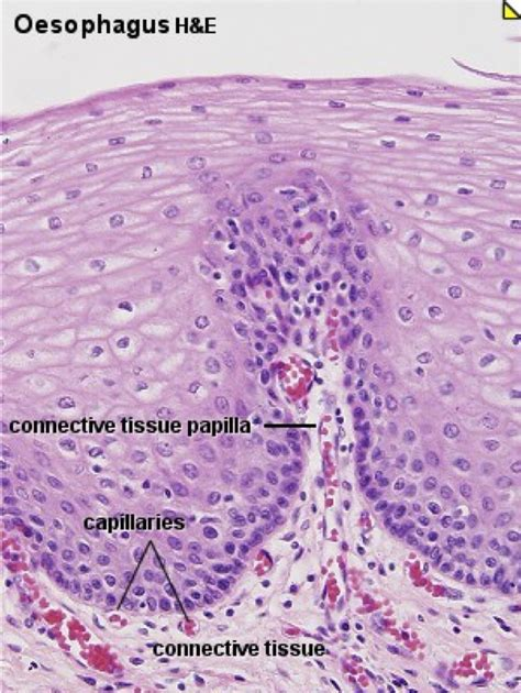 histology anatomy  phisology  welch  san angelo