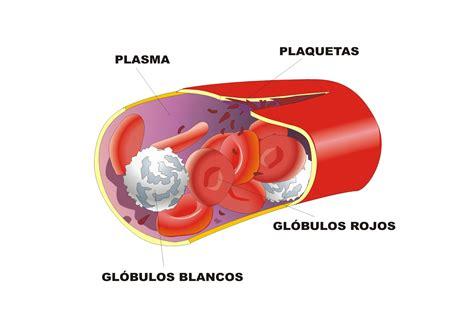 la mitocondria nuestros tejidos xii tejido sanguineo