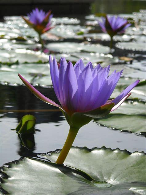 water plants aquatic plants and flowers proflowers blog