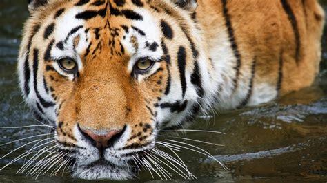 Tiger Animal Wallpaper - wallpaper tiger up zoo hd animals 11741