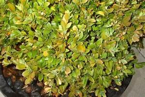 Dipladenia Gelbe Blätter : krankheiten gelbe bltter kranke krankheiten gelbe bltter cannabis krankheiten gelbe bltter ~ Udekor.club Haus und Dekorationen