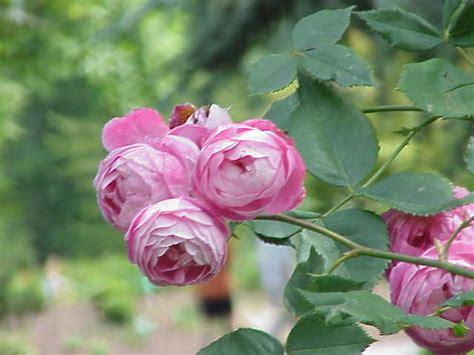 alte rosensorten stark duftend alte