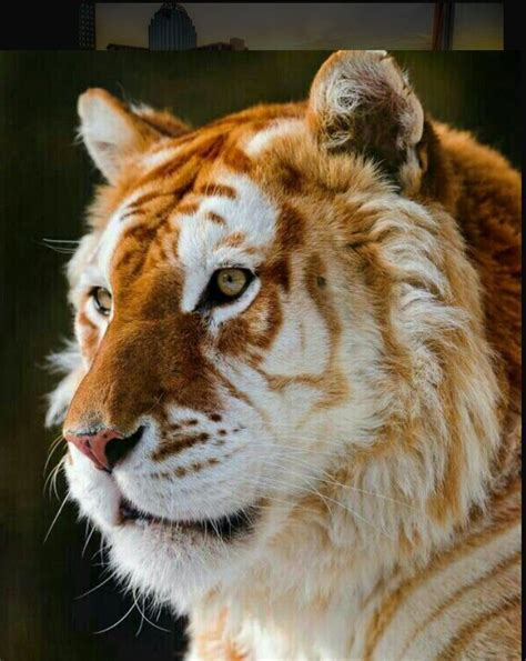 Golden Tiger Only Left Earth Lions Tigers