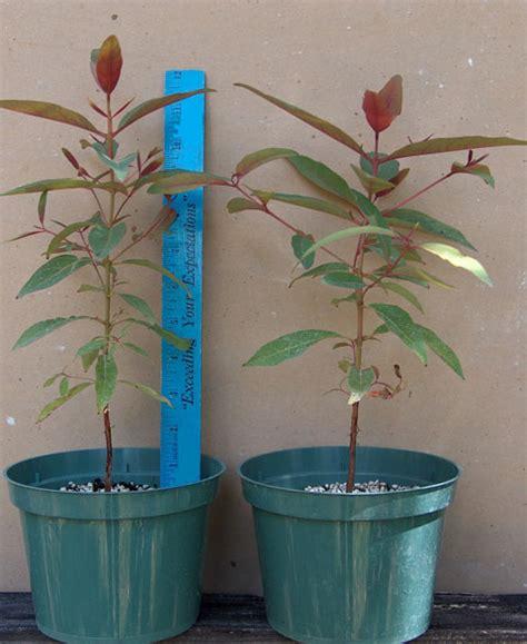 eucalyptus in a pot rainbow eucalyptus eucalyptus deglupta trees for retail sale