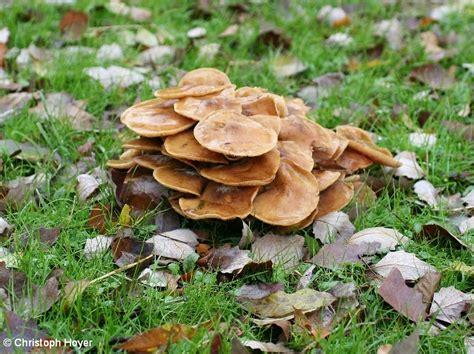 Pilze Im Boden Garten by Pilzfruchtk 246 Rper Im Rasen Regierungspr 228 Sidium Gie 223 En