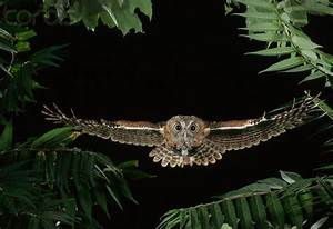 Owls flying | Eastern Screech Owl Flying Through Trees ...