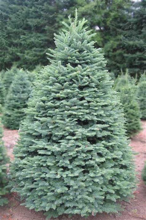 Christmas Tree Types Oregon planting your seedling