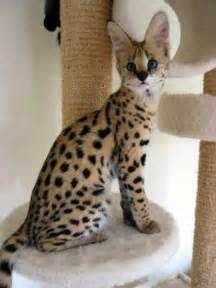 cats as pets can you own ocelot cat as pet about pet