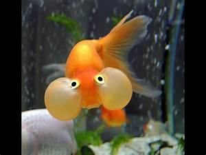 Bubble Eye Goldfish Care is so cute. HD - YouTube
