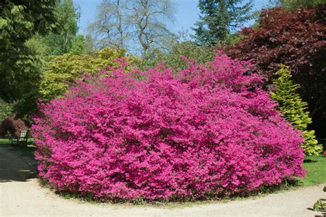 pink flowering shrubs pictures gallery for gt pink flowering bushes