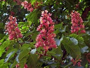 Baum Mit Blüten : baum kastanie rote rosskastanie ~ Frokenaadalensverden.com Haus und Dekorationen
