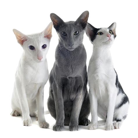 Facts About The Colorful And Unique Oriental Shorthair Cat