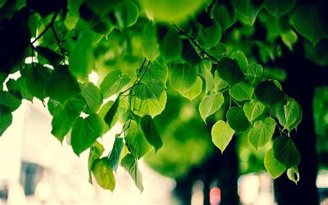green tree images hd hd desktop wallpapers  hd