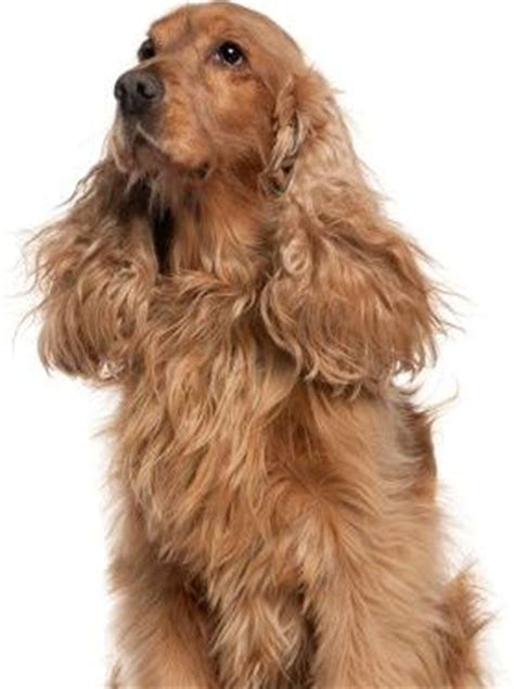 important tips  grooming cocker spaniel  pets central