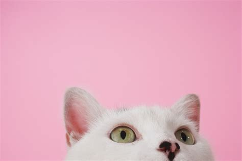 white on pink cat photography photography