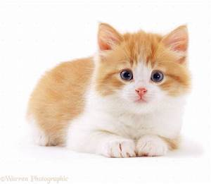 02375 Ginger And White Kitten Background Jpg Pic Cat ...