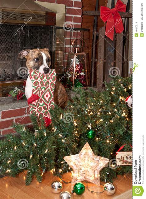 dog destroys christmas stock photo image 46610513