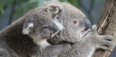 tree hugging koalas beat  summer heat