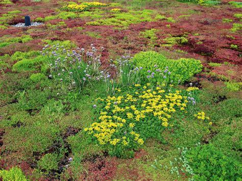 die richtigen pflanzen fuer eine dachbegruenung energie