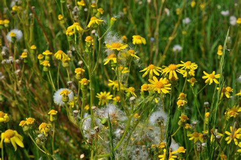 botanikus greiskraut jakobs und andere