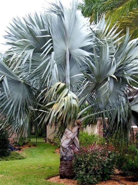 Palmeira azul: guia completo para a jardinagem!