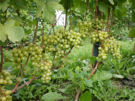 Supaga - Vīnogu Dārzs