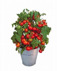 Plant Tomate Cerise : kit tomate cerise cultiver balcon terrasse ~ Melissatoandfro.com Idées de Décoration