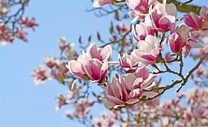 Fleur De Magnolia : fleur de magnolia ~ Melissatoandfro.com Idées de Décoration