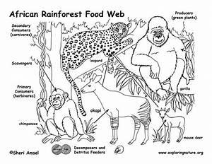 African Rainforest Food Web
