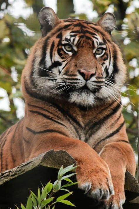 Just Big Beautiful Tiger Thinking About