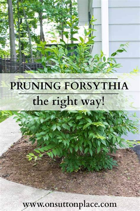 when to trim bushes how to prune forsythia on sutton place