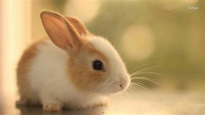 Rabbit Animal Background Wallpapers Wall