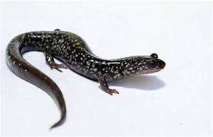 This week's cute amphibian: White-spotted slimy salamander ...