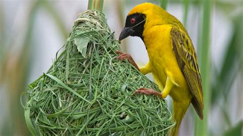 birds can learn to build a better nest