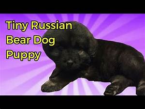 Tiny Russian Bear Dog Puppy - YouTube
