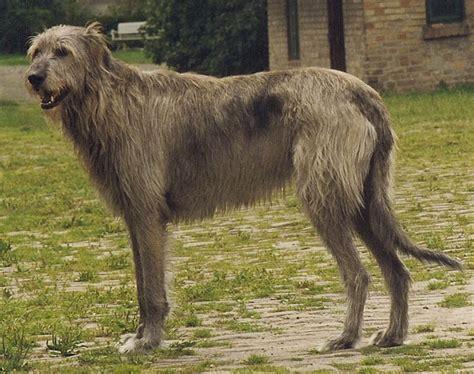 gigantic  long legged  longhaired dogs