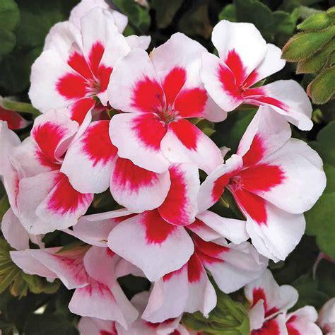 geranium americana white splash van meuwen