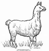 Llama Coloring Grazing sketch template