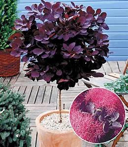 Winterharte Kübelpflanzen Hochstamm : per ckenstrauch st mmchen zierst mmchen bei baldur garten ~ Michelbontemps.com Haus und Dekorationen