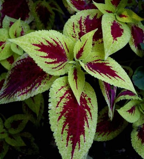 hardy plants for garden hardy garden flowers coleus plants jpg 1 comment hi res 720p hd