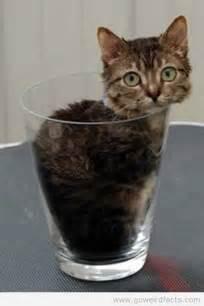 world s cat world s smallest cat goweirdfacts