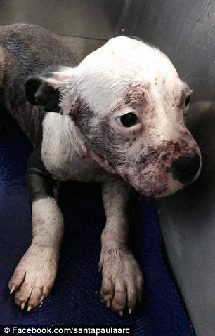 sixteen injured  abused dogs rescued  california