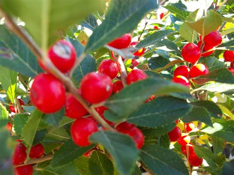 shrub with berries in winter berries for fall and winter schmalz landscaping