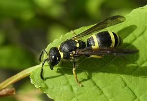 Schwarze Wespe Deutschland : die kleine schwarze mit den gelben streifen bild foto von g nter eich aus wespen ~ Whattoseeinmadrid.com Haus und Dekorationen