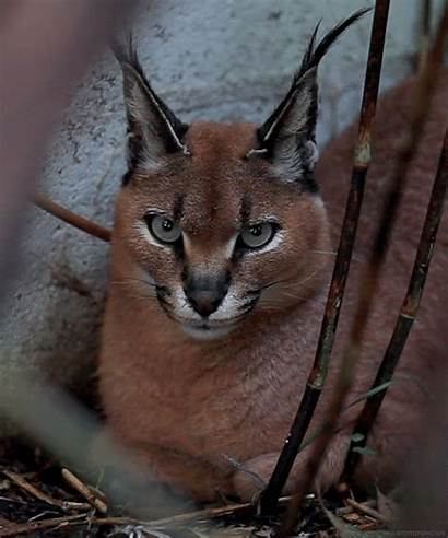 Ears Cat Tufted Wild Amazing Cats Tufts