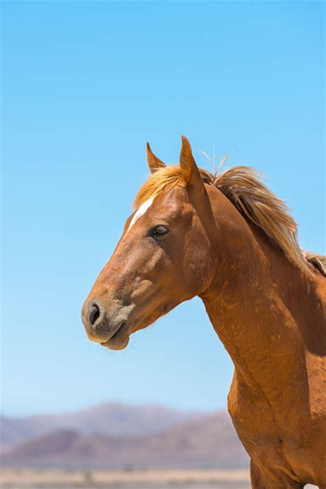 wild horses horse aus namibia africa schoeman andrew