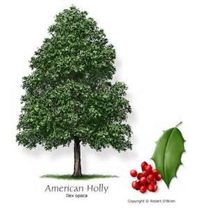 Christmas Tree Types Uk by 25 Best Ideas About Holly Tree On Pinterest Xmas