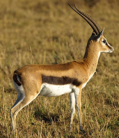 gazelle iphone iphone gazelle wallpapers hd pictures